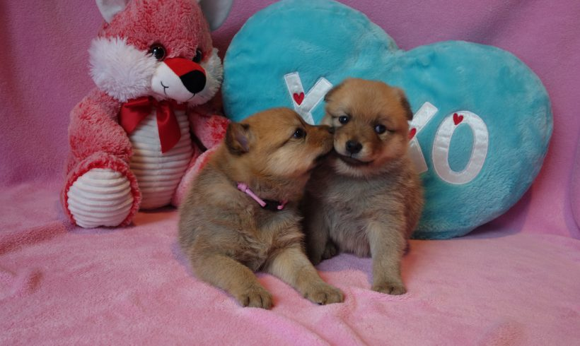 Finnish Spitz Puppies – Saki & Gordie January 2018