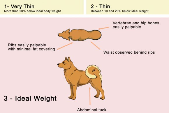 Simple Ways to Help Your Finnish Spitz Lose Weight